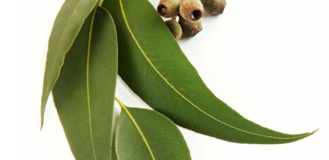 Ingredient_Eucalyptus_alt